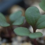 brasicca seedlings